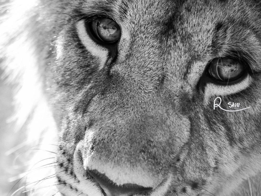 lion, safari, big 5, mammal, African wildlife