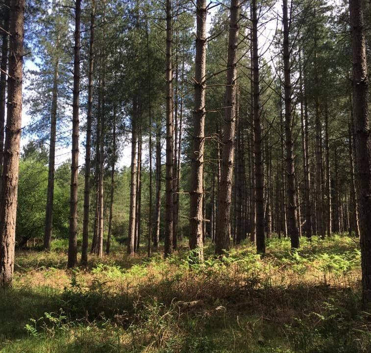 pine trees at a forest