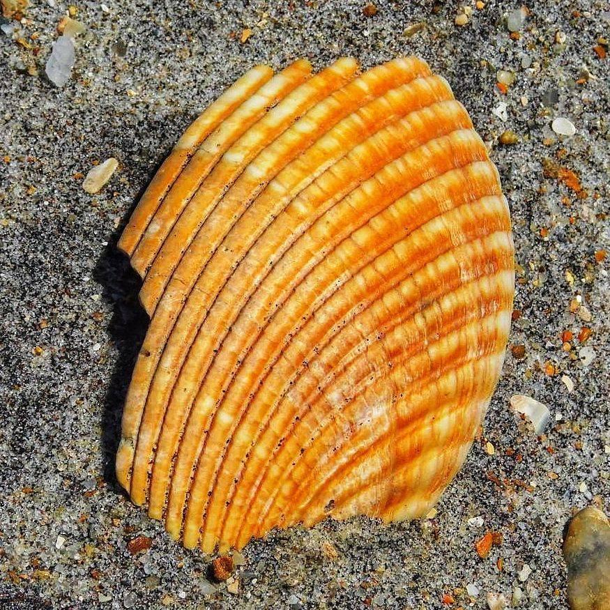 P Batson  - Orange Shell