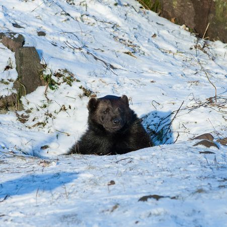 Hibernating black bear peeking out from den