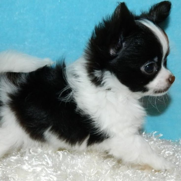 Long Haired Chihuahua Picture 6