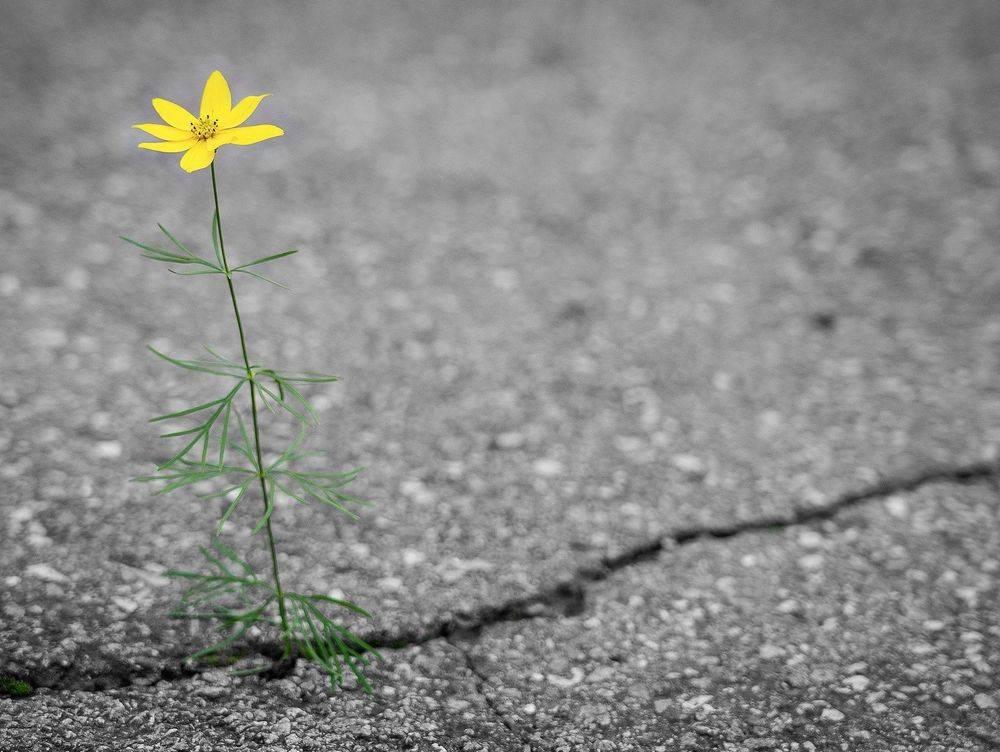 Flower pushing through concrete road