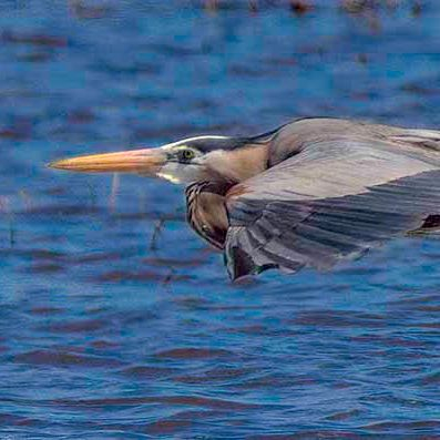 PAndercyk - Heron in Flight - Photography on Canvas - 17x6 - $50