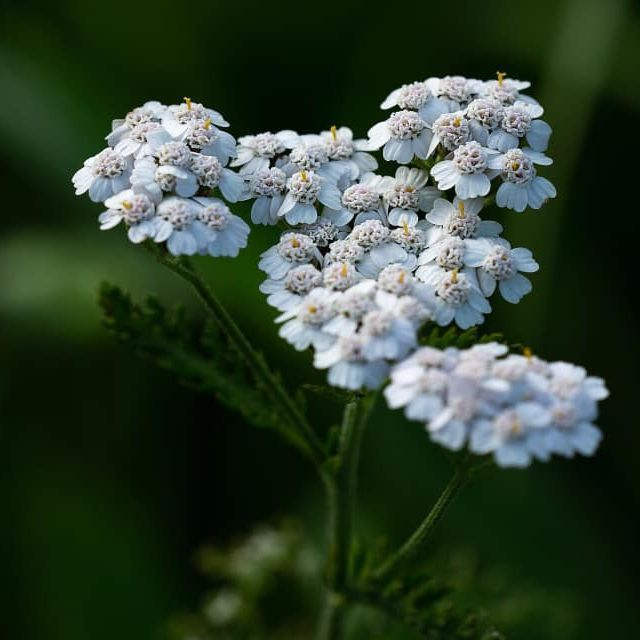 Yarrow, what does yarrow represent, healing flowers, yarrow essential oil, what can I use yarrow for, essential oils for oily skin, essential oils to reduce stress, essential oils to lift my mood, rare essential oils, most expensive essential oils, what can I use yarrow oil for