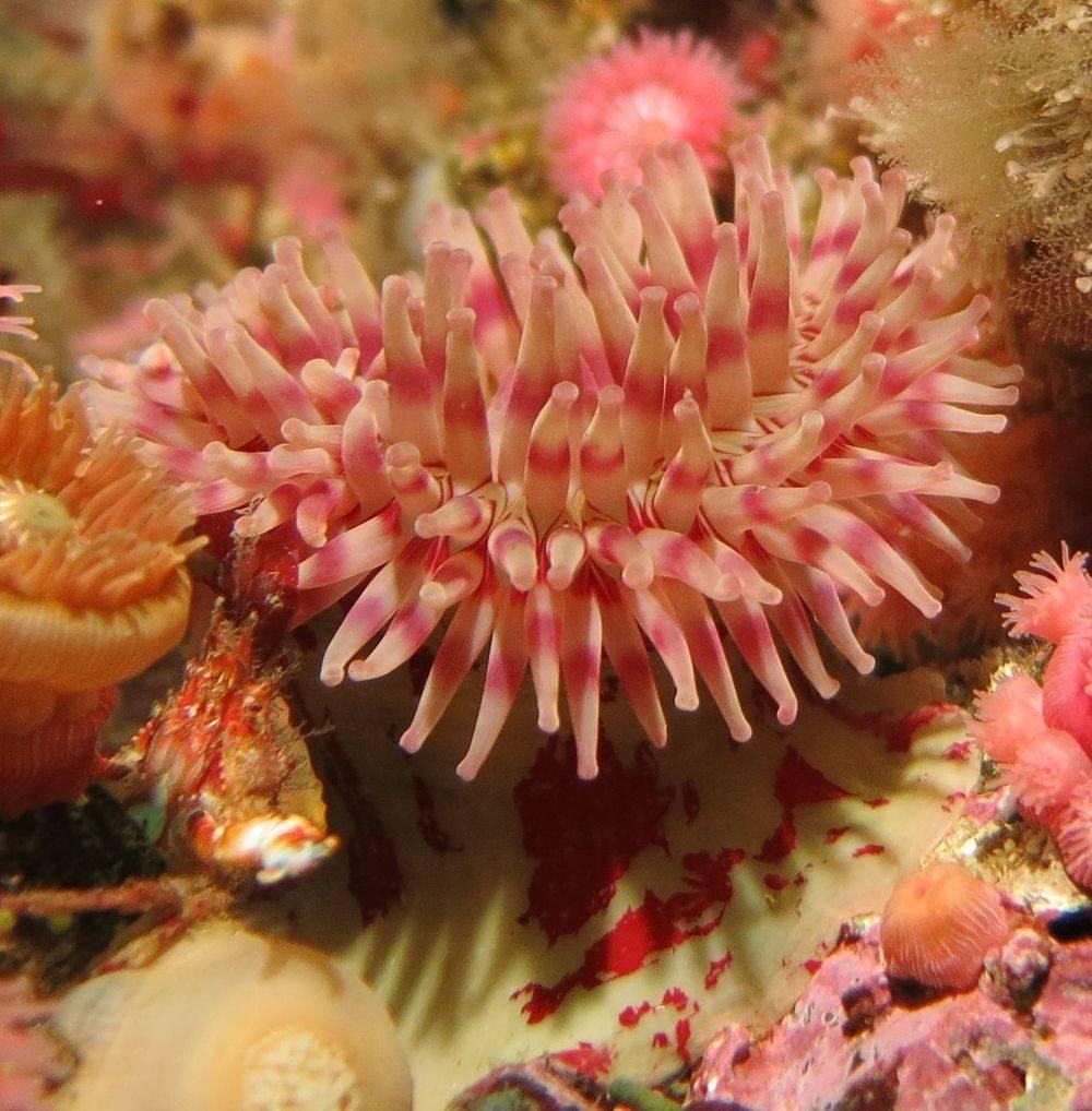 anemone, diving, macro