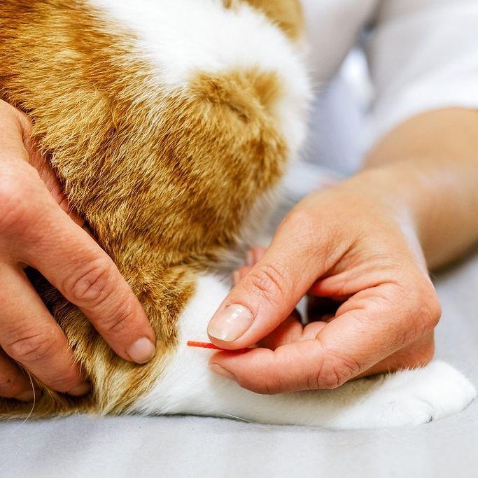 Chat acupuncture féline montréal