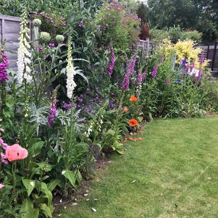 Berkshire garden Summer flowers foxgloves poppies cardoon