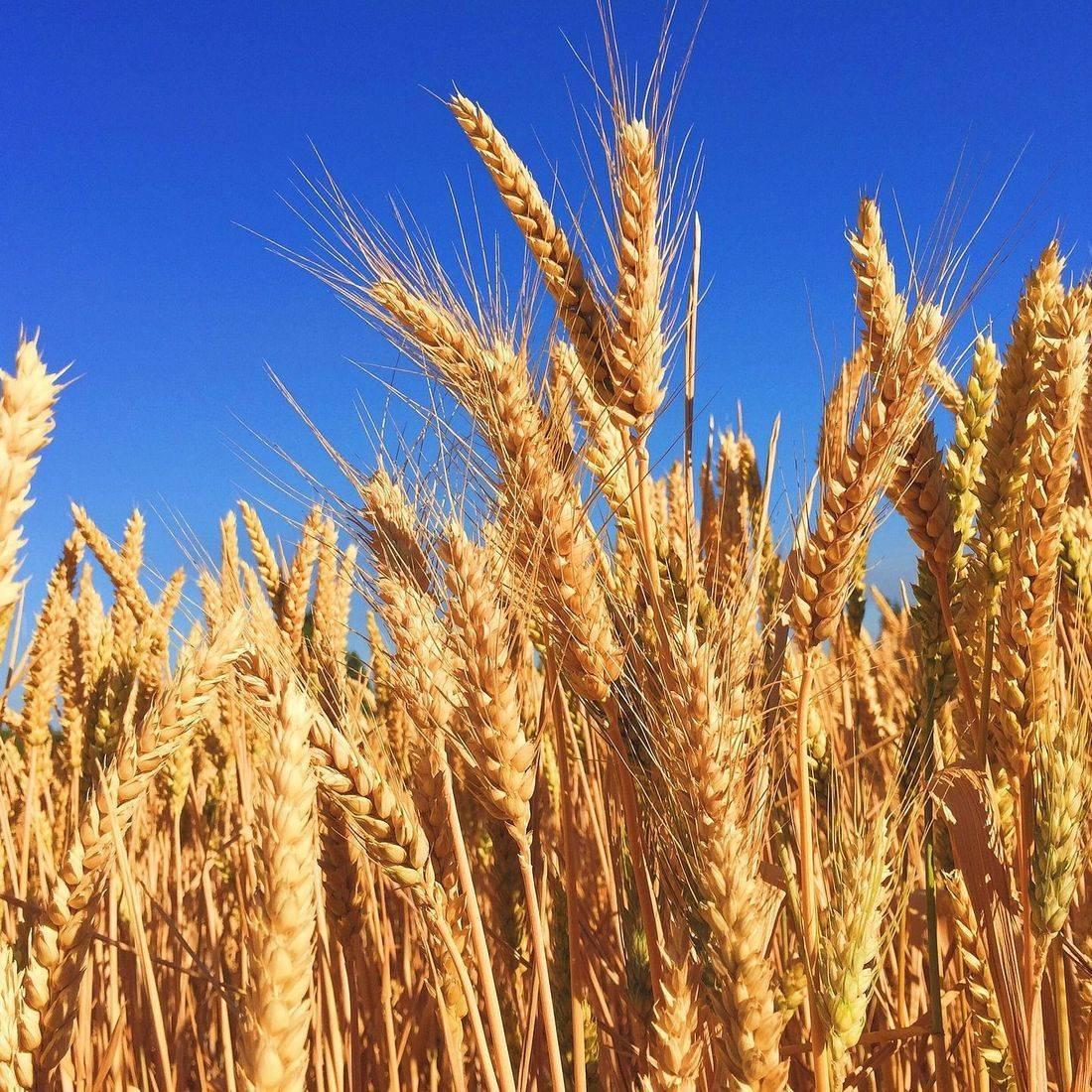 wheat harvest, harvest season