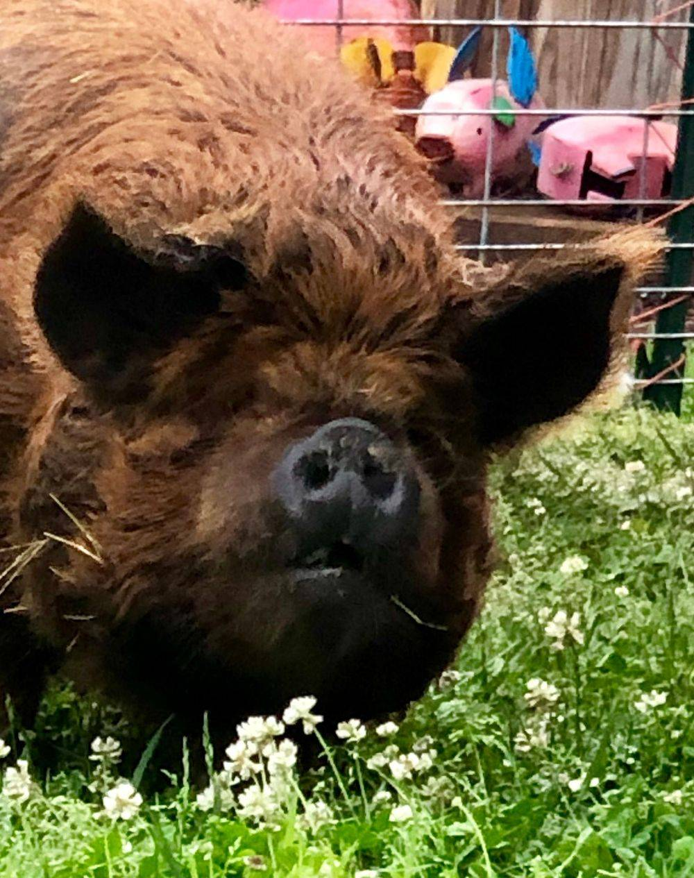 KuneKune Pigs for Sale In Virginia Trish