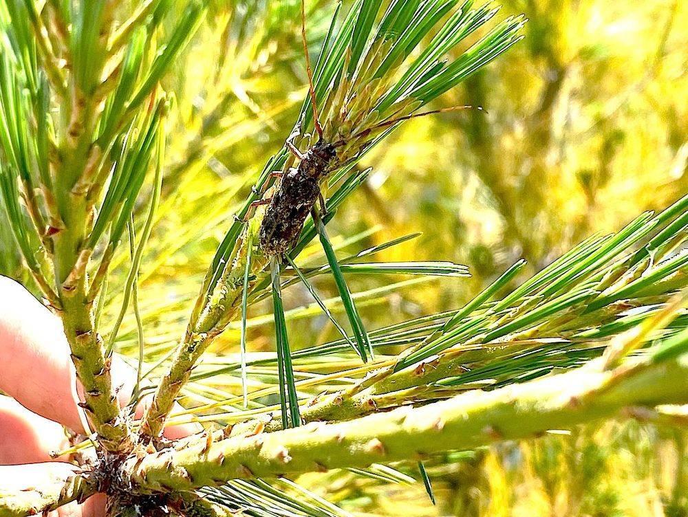 Pine Sawyer Beetle