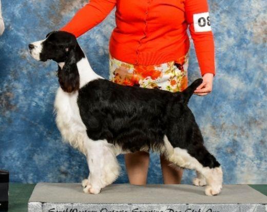 english springer spaniel breeder ontario puppies