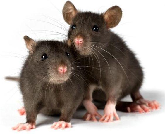 Sharp's Rodent Prevetion