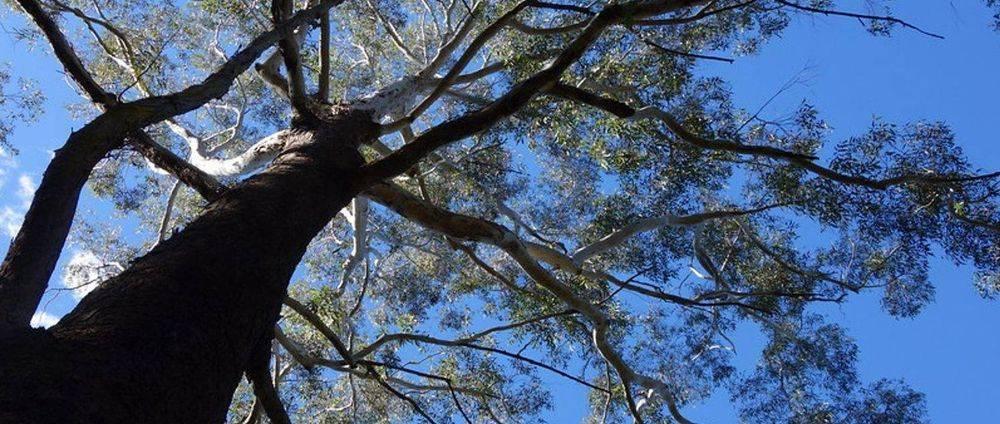 Big gum tree with blue sky