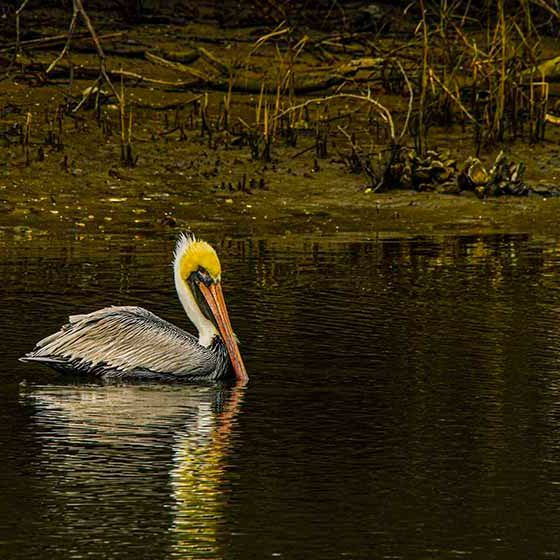 PAndercyk - Lazy Pelican - Photography on Canvas - 12x8 - $50