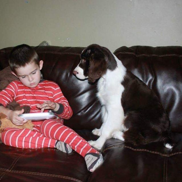 ontario english springer spaniel breeders puppies trojh english springer spaniels
