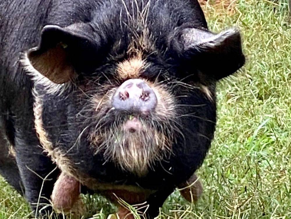KuneKune Pigs for Sale In Virginia REBECCA GINA