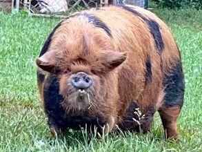 KuneKune Pigs for Sale In Virginia MOMONA