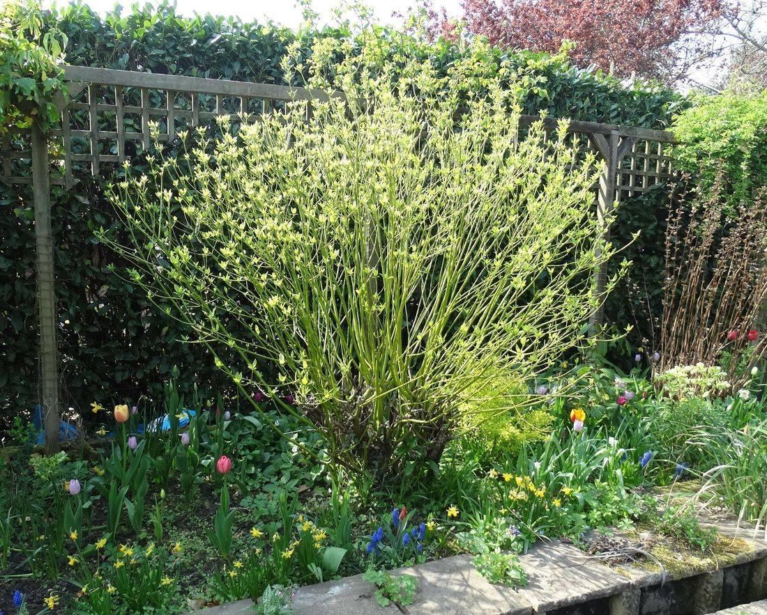spring border dogwood tulips daffodils