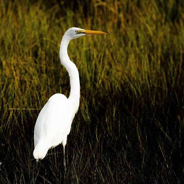 PAndercyk - Great Egret in the Marsh - Photography on Canvas