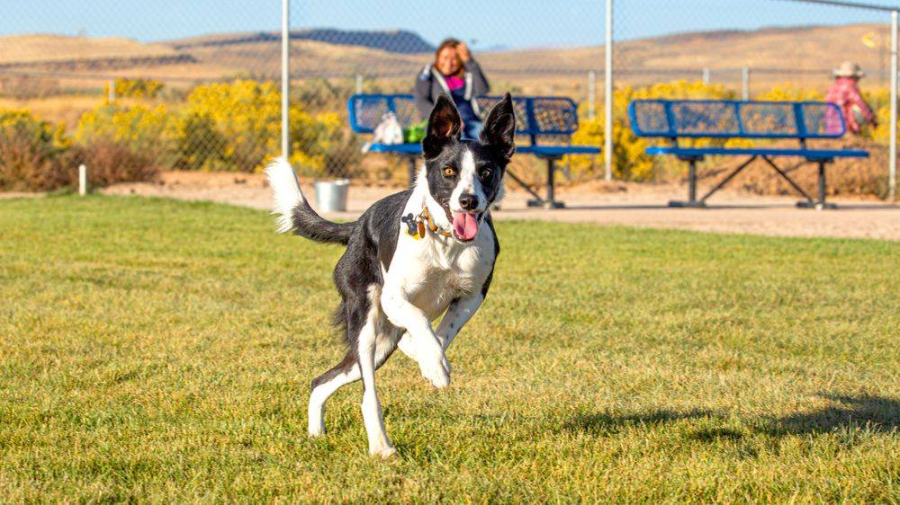Boarder Collie playfully running