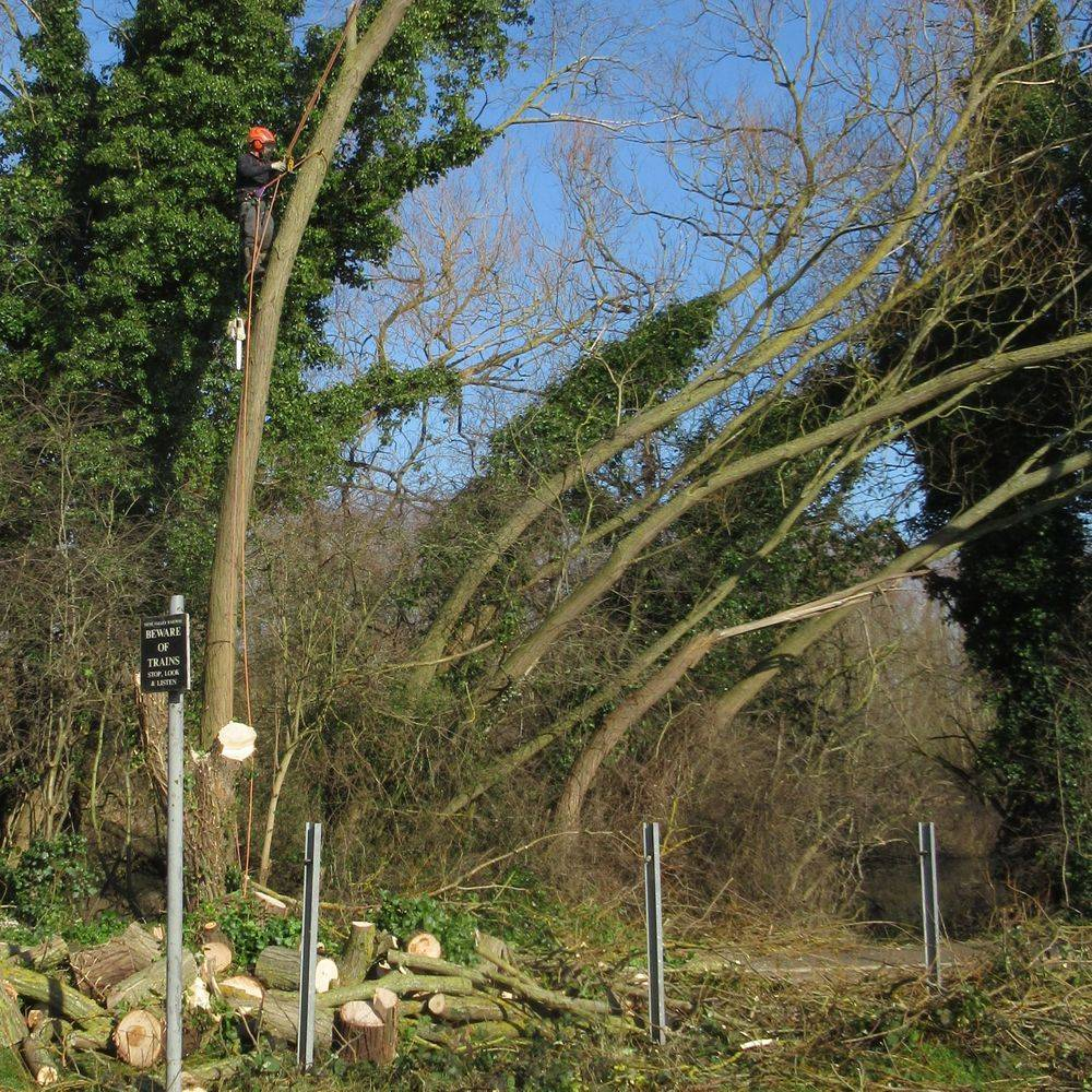 A1 Arborist Sectional dismantling tree over footpath at Railworld Peterborough
