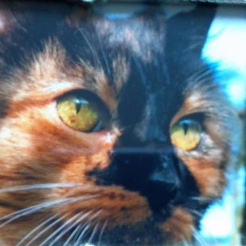 Beautiful Tortoiseshell Cat
