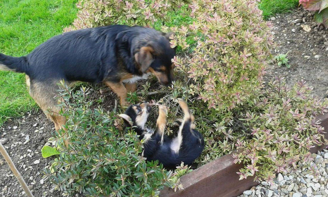 Dog and puppy playing rough and tumble in the flower beds