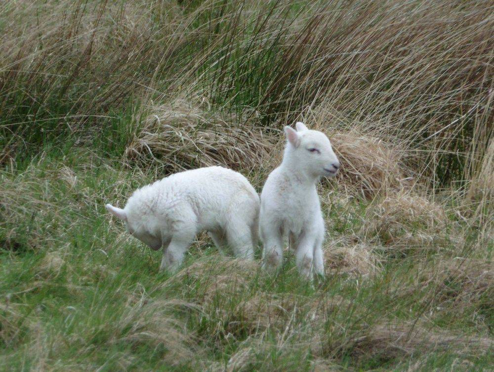 Lambs sheep crofting isle of skye bed and breakfast
