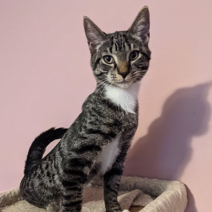 male Tabby kitten available for adoption