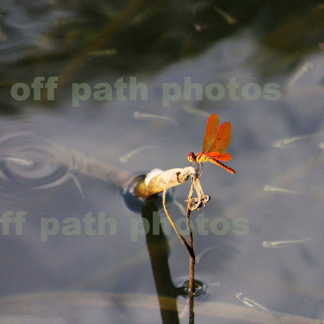 photography, nature, insects, minnows, water, ponds, dragonfly, bugs, fish