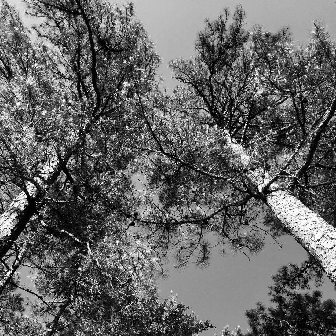 Trees, Sky, Pine