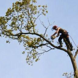 Large Oak tree removal and Felling in Liskeard, Cornwall