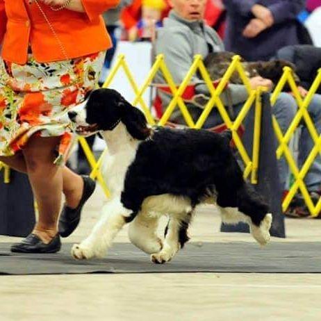 english springer spaniel breeders ontario puppies trojh