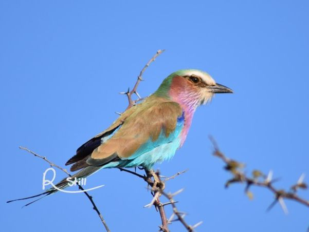 lilac-breasted roller, birds, Africa