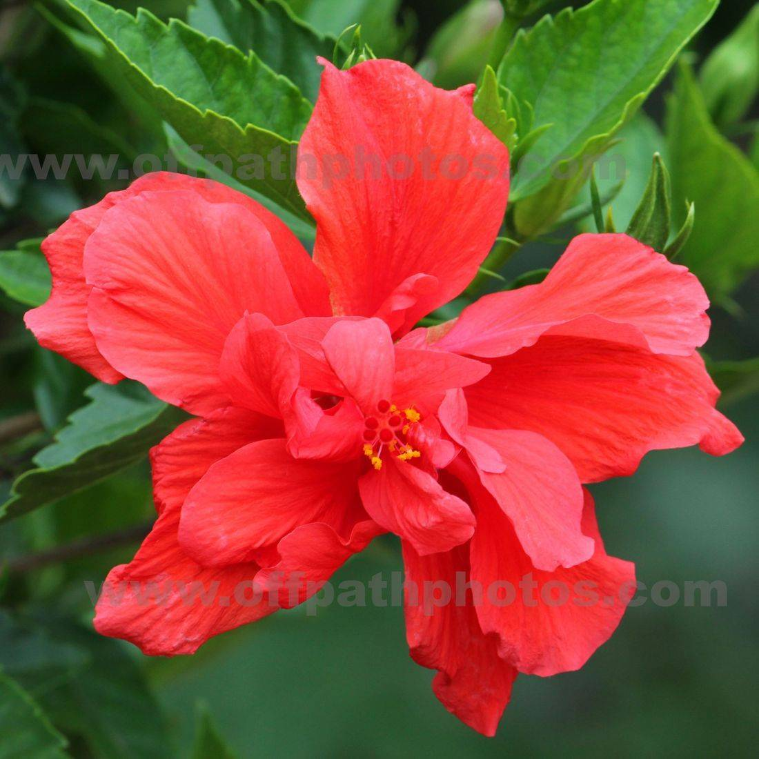 photography, nature, garden, flowers, scripture, God, Isaiah, hydrangeas, summer, promises
