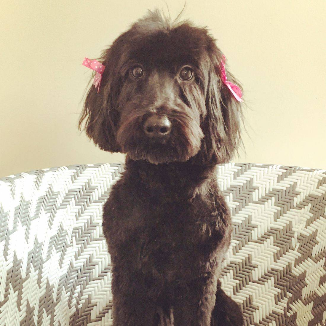 Photo of a black dog with pink bows in her hair