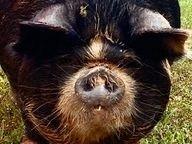 KuneKune Pigs for Sale In Virginia TaruTaru