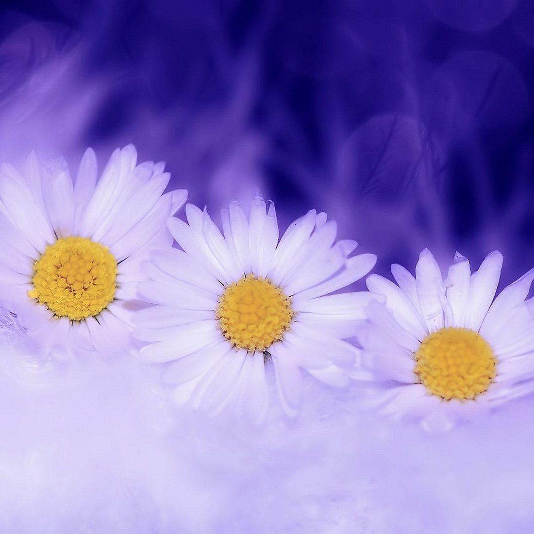 Three daisies