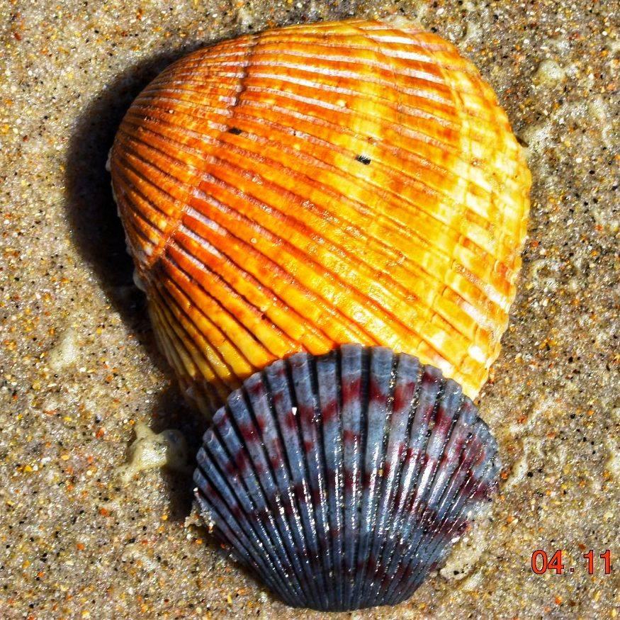 PBatson -Double Shells