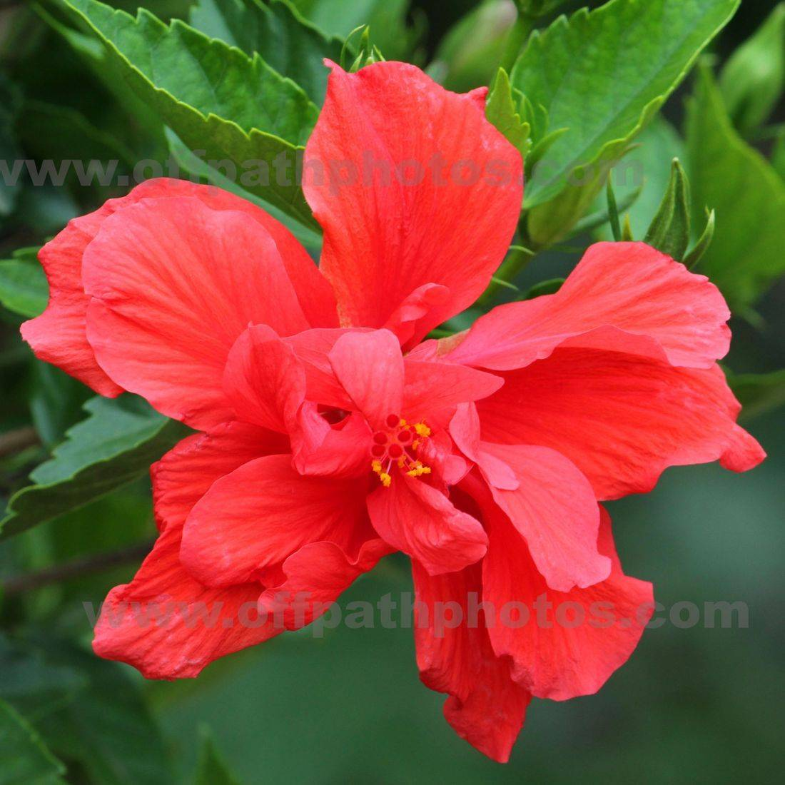 photography, nature, plants, flowers, red, tropical, tea, ornamental, shrubs, trees