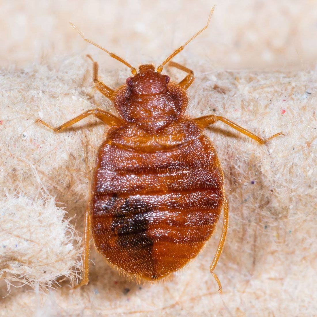 PestAway treats bed bug infestations in Greenock, Port Glasgow, Gourock, Largs and Bishopton