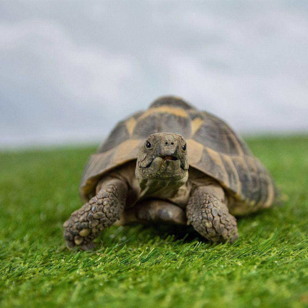 Chompy the movie star tortoise