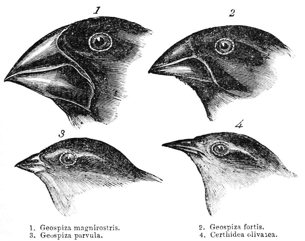 Darwin's Finches, finches, evolution, darwin, charles darwin, wimb, war is my business
