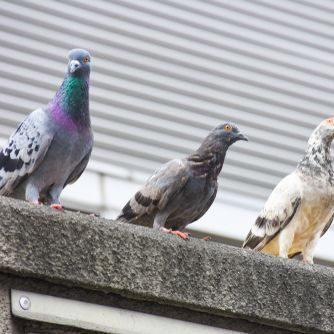 Birds can be a nuisance and health hazard. PestAway can treat and prevent bird infestations in Gourock, Greenock, Port Glasgow, Largs, Paisley and Glasgow.