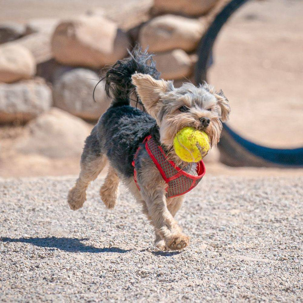 Small dog running with a tennis ball