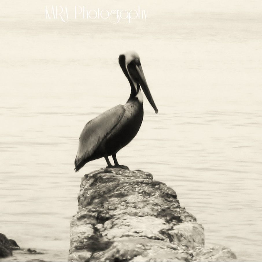 Pelican, Beach, Bird, Anna Maria Island, Florida, Gulf of Mexico