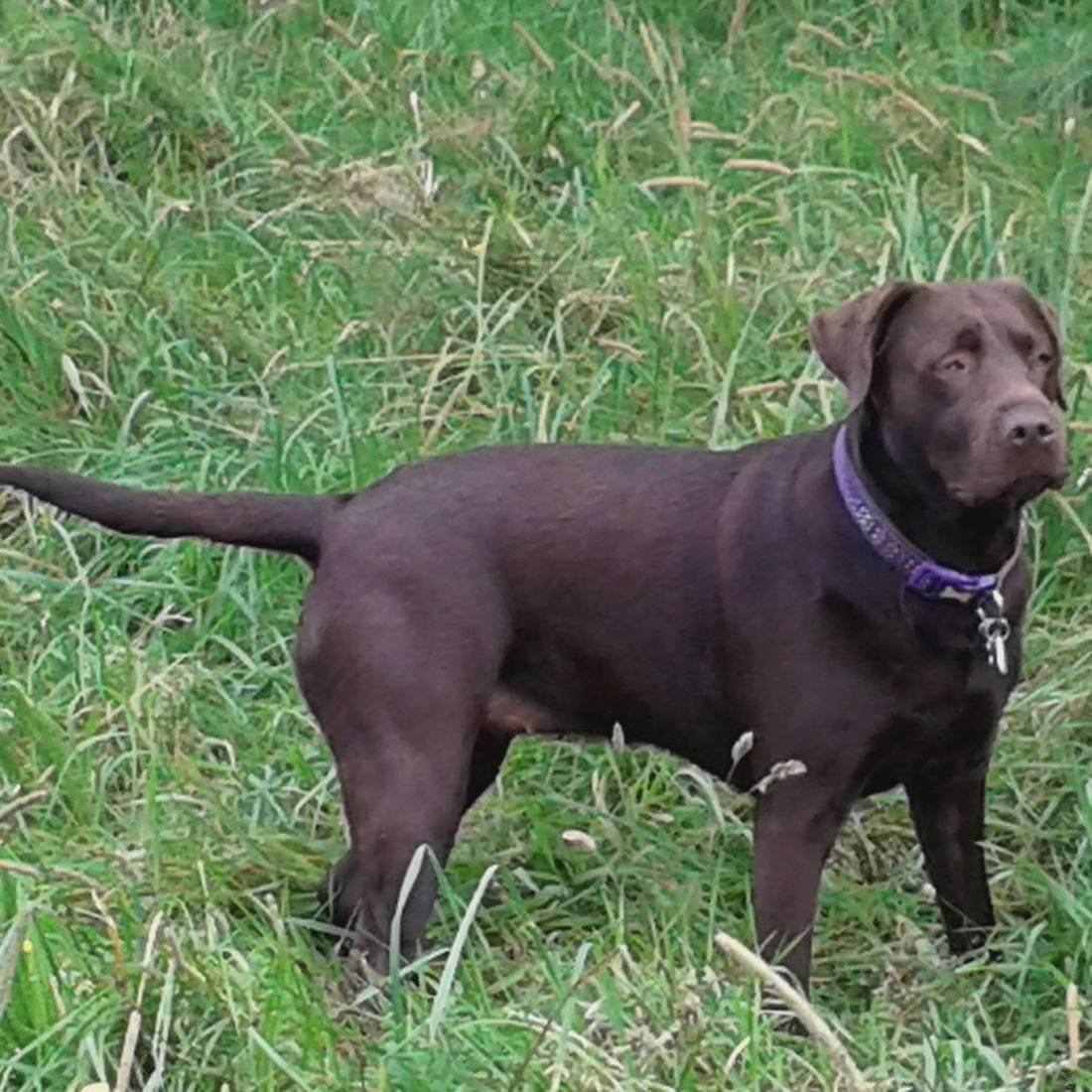 Chocolate labrador in the field