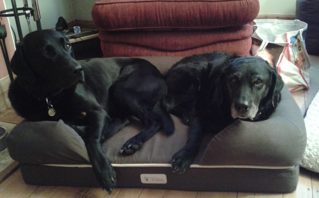 Black labradors squashed in bed