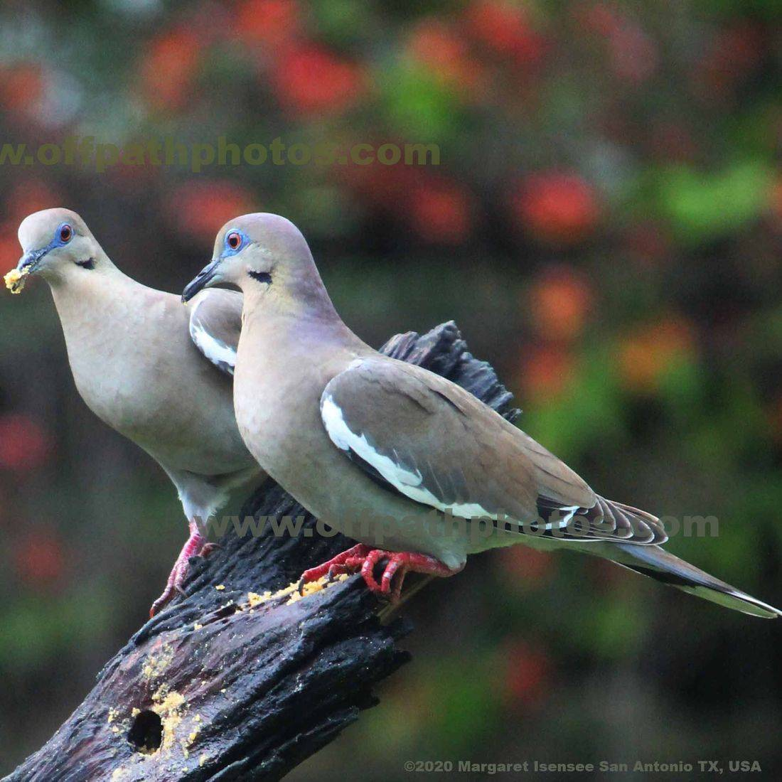 photography, wild animals, birds, food, nature, eating, doves, trees, beautiful
