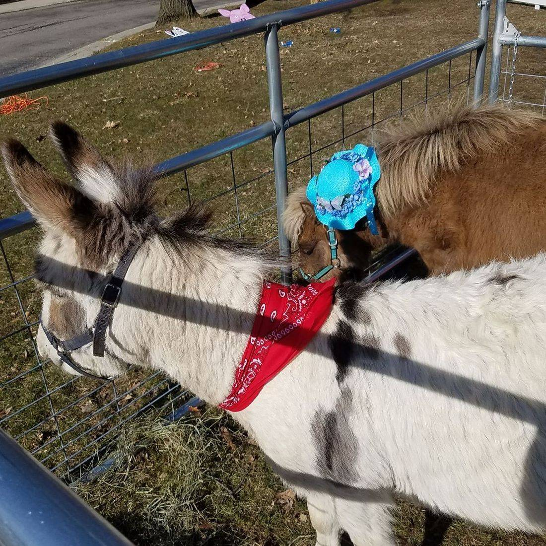 Miniature donkey in a petting zoo with a miniature horse